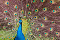 Indian Blue Peacock Royalty Free Stock Photo
