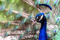 Indian Blue Peacock Portrait