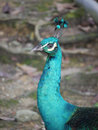 Indian or blue ribbon peacock portrait of a pavo christatus Stock Photos