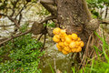 Indian bread fungus cluster of india growing on beech tree Royalty Free Stock Photography