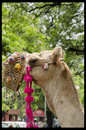 Indian camel a beautifully decorated in jaipur Royalty Free Stock Image