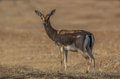 Indian Chinkara Royalty Free Stock Photo