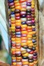 Indian corn ear Royalty Free Stock Photo