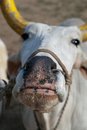 Indian cow the sacred bull with lacquered horns in haridvar india Stock Image