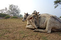 Indian Cows Rest in the Sun Royalty Free Stock Photo