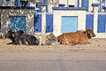 Indian cows three relaxing on a street in porbandar gujarat Royalty Free Stock Images