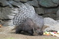 The indian crested porcupine strolling on the soil Stock Images