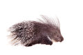 Indian crested porcupine on white hystrix indica isolated background Royalty Free Stock Photos