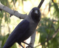 Indian crow beak bill rostrum face head eyes looks Stock Photography