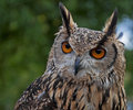 Indian Eagle-Owl Royalty Free Stock Photo
