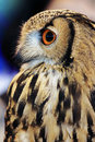 Indian Eagle Owl (Bubo bengalensis) Royalty Free Stock Photo