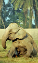 Indian elephant Stock Photography