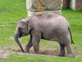 Indian elephant baby elephas maximus running near the flock of females Stock Image