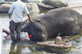 The Indian elephant bathes in the river swim Royalty Free Stock Photo