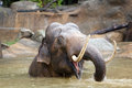 Indian elephant bathing in the Prague Zoo Royalty Free Stock Photo