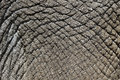 Indian elephant elephas maximus close up of skin captive april Royalty Free Stock Photography