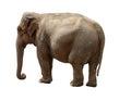 Indian elephant and white background Royalty Free Stock Photo
