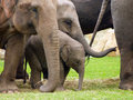 Indian elephants elephas maximus in the flock of females with small elephant baby Royalty Free Stock Photography