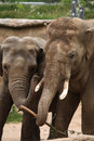 Indian elephants elephas maximus indicus two wildlife animals Royalty Free Stock Photo