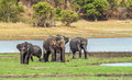 Indian elephants herd of in sri lanka Royalty Free Stock Images