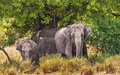 Indian elephants herd of in sri lanka standing underneath a tree Stock Photo