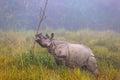 Indian endangered Rhino in Kaziranga National Parc Royalty Free Stock Photo