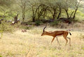 Indian gazelle deer chinkara in their natural habitat Royalty Free Stock Image