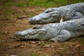 Indian gharial crocodiles resting in warm weather Stock Photo