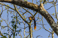 Indian giant squirrel orange tailed perched on a tree Royalty Free Stock Image