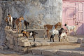 Indian goats group of a close to a house in porbandar gujarat Stock Photos