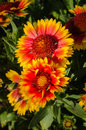 Indian goblin blanket flowers beautiful and multicolored Stock Photos
