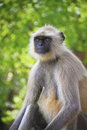 Indian gray langur looking camera Royalty Free Stock Images