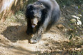 The Indian Himalaya bear runs in a zoo on a track. India Goa Royalty Free Stock Photo