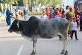 Indian holy cow Royalty Free Stock Photo
