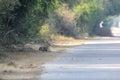 Indian jackal Royalty Free Stock Photo