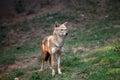 Indian jackal beautiful shot of alert Stock Photo