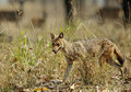 Indian Jackal in the grasses of Pench Tiger Reserve