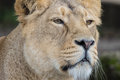 Indian Lion. Asiatic Female Lioness Close Up Royalty Free Stock Photo