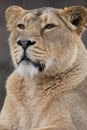 Indian Lion. Asiatic Female Lioness Portrait Royalty Free Stock Photo