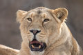 Indian Lion. Asiatic Female Lioness Showing Teeth Royalty Free Stock Photo