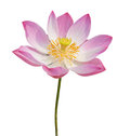 Indian lotus isolated Stock Images
