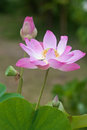 Indian lotus or sacred lotus beautiful pink blooming Royalty Free Stock Photography