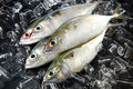 Indian Mackeral Fish Stock Images