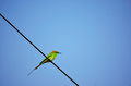 Indian merops orientalis bird bee eater or sitting on electric cable against blue sky Stock Photos