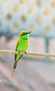 Indian merops orientalis bird vertical image of bee eater or sitting on electric cable Royalty Free Stock Photo