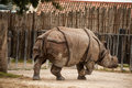 Indian one horned rhinoceros the unicornis also called the greater and Royalty Free Stock Photo