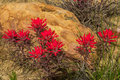 Indian paintbrush cluster of growing among sandstone rocks along cottonwood road grand staircase esclante national monument utah Stock Photography