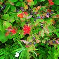 Indian paintbrush huckleberries and flowers beautiful Royalty Free Stock Image