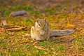 Indian palm squirrel funambulus palmarum eat a grass Royalty Free Stock Image
