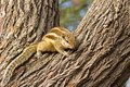 Indian palm squirrel funambulus palmarum on a tree Royalty Free Stock Image